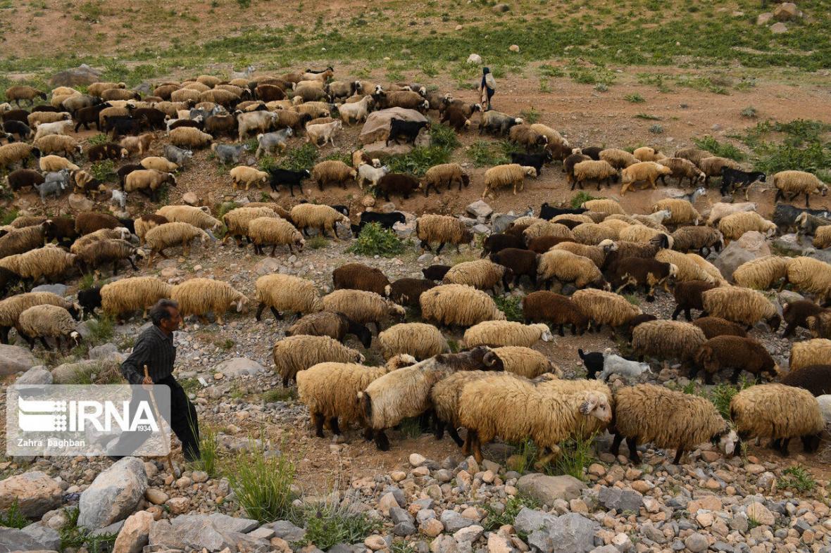 خبرنگاران پرونده های قاچاق دام در خراسان جنوبی 42 درصد کاهش یافت