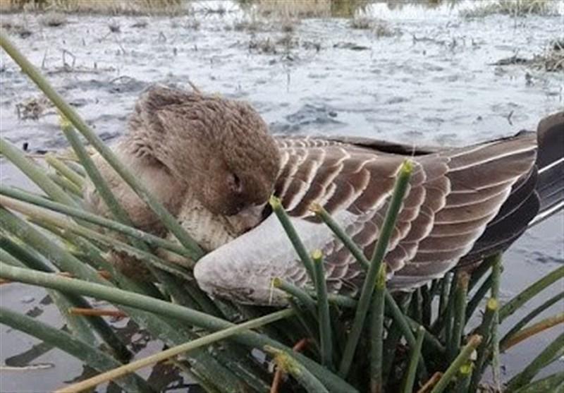 ممنوعیت تردد در اطراف تالاب میقان، دفن بهداشتی لاشه 251 پرنده