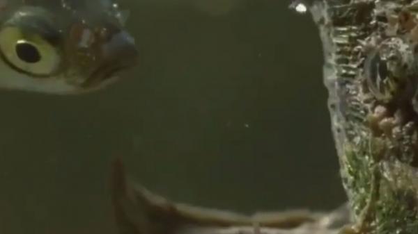 ترفند جالب لاک پشت برای شکار ماهی